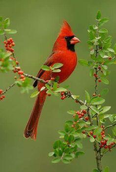 Northern Cardinal                                                                                                                                                                                 More