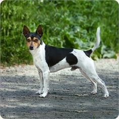 Learn all about the Tenterfield Terrier dog breed. Pet Dogs, Dogs And Puppies, Doggies, Rare Dog Breeds, Man And Dog, Hilario, Dog Toys, Dog Training, Boston Terrier