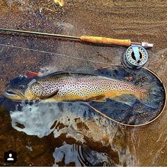 A beautiful brown trout freshly caught on a fly rod. Trout Fishing, Fishing Lures, Fly Fishing, Fishing Crafts, Fishing Vest, Fishing Shirts, Fishing Guide, Best Fishing, Fishing Photography