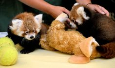 Male cub red pandas make their introduction during a press conference at the Rosamond Gifford Zoo in Syracuse, N.Y., Thursday, Sept. 10, 2015. Kevin Rivoli   krivoli@syracuse.com