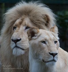 Family Portrait - Pinned by Mak Khalaf White Lions Abstract White LionParadise Wildlife Parkanimalbig catscatspredatorzoo by rcampbell