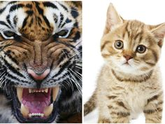I got: 95% Tiger, 5% Kitten! What Animal Are You Like When You're Angry?