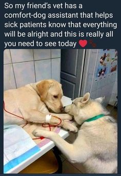 This veterinarian has a comfort dog assistant that helps sick dog patients know that everything will be alright Tags: Labrador Retriever, Puppy 792 points, 15 comments. Cute Funny Animals, Cute Baby Animals, Funny Dogs, Animals And Pets, So Funny, Cute Animal Memes, Cute Puppies, Cute Dogs, Dogs And Puppies