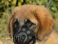 Yeva - for sale! Dogs For Sale, Mountain Dogs, Puppies, Animals, Cubs, Animales, Animaux, Animal, Animais