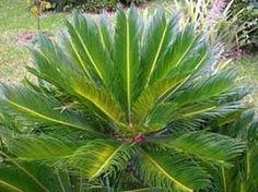 Cycas revoluta, Palmeira-sagu, Sagu