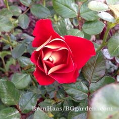 Time To Play Ketchup …. and Mustard Too! #gardenchat #rose