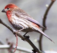 Mexican Rose Finch