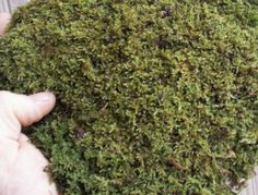 Natural Live Feather/Sheet Moss Terrarium, Bonsai Reptile, Craft - My Green Thumb - Beef Terrariums, Terrarium Reptile, Moss Terrarium, Ikea Terrarium, Moss Garden, Bonsai Garden, Vivarium, Reptiles, Lizards