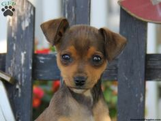 mini pinscher mix puppies - Google Search