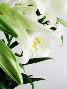 lily / flower: St Joseph Lilly