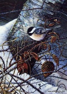 """In Scott Zoellick's Winter Chickadee a sweet little bird rests near a pine tree which is covered in snow. This print is available unframed in size 6.75""""x9.5"""""""