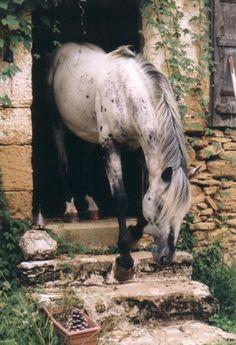 Phoebus - Stallion Directory