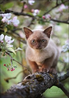 Burmese kitten among the blossoms.