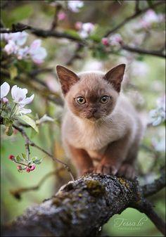 Burmese kitten among the blossoms.