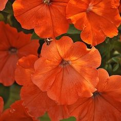 AFRICAN SUNSET   Petunia Seeds   'African Sunset' petunia is a 2014 All America Selections Winner. We are captivated by this terrific new color of Petunia! Warm, glowing orange 2 ½ inch flowers bloom in abundance from late spring until frost. 'African Sunset' is a heavy blooming multiflora petunia and the first hybrid orange ever developed. With closer spacing, the vigorous, mounding plants  With its dense, heavy, and long season of bloom, $3.99