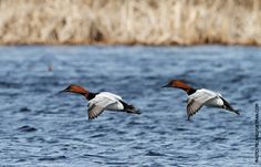 Canvasback Facts, Figures, Description and Photo