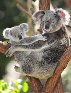 Koala Mutter mit ihrem Kind in Australien – Animal Kingdom Cute Funny Animals, Cute Baby Animals, Animals And Pets, Wild Animals, The Wombats, Baby Koala, Baby Otters, Australian Animals, Tier Fotos