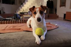 Wanna play JACK RUSSELL