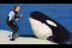 One of Sea World's orcas, Kasatka, is an orca captured from the wild. She is so aggressive they don't use her in shows any more. I'd say it's more anger at them for taking her from her home.