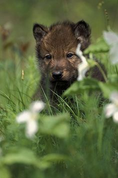 Captive Wolf Pups In Grass Minnesota by Michael DeYoung * * BUT HE WHO SEEKS THE FLOWERS OF TRUTH, MUST QUIT THE GARDEN FOR THE FIELD.    ~George Gordon