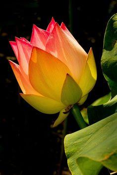 Amazing Flowers, Beautiful Roses, Beautiful Gardens, Beautiful Flowers, Lotus Bud, Beautiful Flower Tattoos, Black Flowers, Lotus Flowers, Still Life