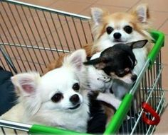 Chihuahuas in a cart via www.Facebook.com/CuteChihuahuaFans