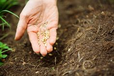 How to Plant Grass Seed for a New Lawn If you'd like a lush new lawn next spring, then start planting grass seed now. Planting Grass Seed, Garden Soil, Lawn And Garden, Organic Herbs, Organic Vegetables, Organic Gardening, Grow Organic, Lawn Soil, Vegetable Garden Tips