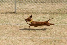 Who doesn't love weiner dog racing?