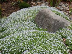 Isotoma fluviatilis - Fast growing ground cover good in in sun to part shade.  Tolerates being walked on.