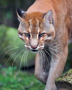 Asian Golden Cat Photo by ©Johannes Wapelhorst #WildlifeOwners