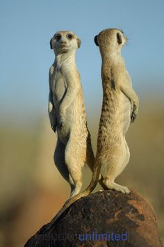 Two heads are better than one. Suricate or Slender-tailed Meerkat (Suricata suricatta) use every rise, peak or point in their territory to be on the look-out for predators. The short-term disadvantage of taking over the alarm post (the individual can not forage for a while) is compensated for by a highly effective search for prey later, when an other member takes over the guard.