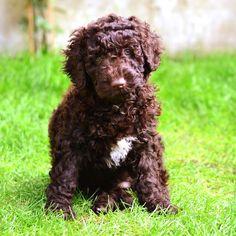 Dulcie the Spanish Water Dog puppy, aged 9 weeks