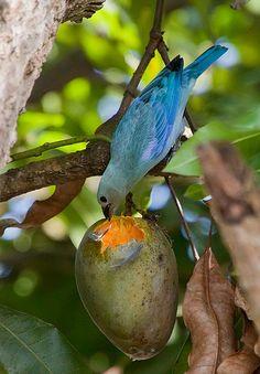 Blue-grey Tanager (Thraupis episcopus)
