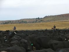 Black Angus Herd