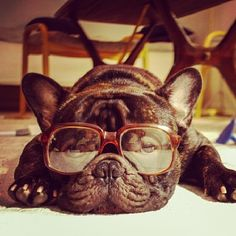 """These are My 'Old Man Glasses', Yipppeeeee!....NOT. French Bulldog who doesn't like getting old."