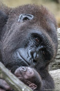 Asha and Mona Primates, Cute Baby Animals, Animals And Pets, Funny Animals, Beautiful Creatures, Animals Beautiful, Magnificent Beasts, Cincinnati Zoo, Mountain Gorilla