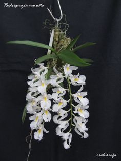 orchisrafa: Rodriguezia venusta Rchb. f. 1852