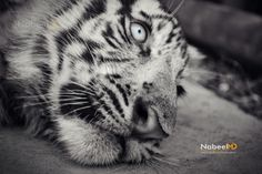 Wight Tiger Looking Sad by Nabeel MD on 500px