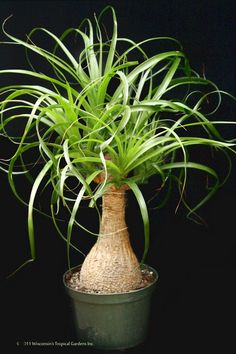 Plant Ponytail Palm Live Easy Care Indoor Houseplant Strap-like leaves Best Gift