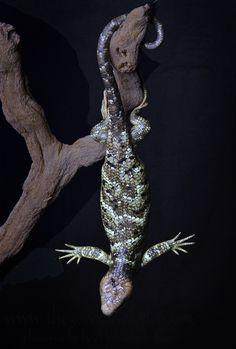 Corucia zebrata - Solomon Island Prehensile Tailed Skink (Monkey Tail Skink) My favorite lizard. Work With Animals, All About Animals, Types Of Animals, Amazing Animals, Cute Animals, Reptiles And Amphibians, Mammals, Tortoise Turtle, Pet Snake