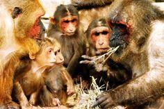 neuronios-espelho-macacos
