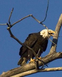 Bald Eagle of the Mighty Mississippi   LiveScience - Credit: Don Buscher
