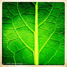 .: Comfrey Leaf :. Photo by Kerry Ryan Simmons © 2012, The Arte of Lady Straif