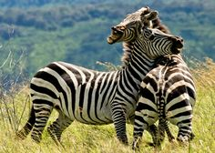Africa is not the only place on Earth to go on a safari, but it surely offers some of the best safari adventures around. Most of the African safari reserves have all the big five animals: the lion,… Animal 2, Mundo Animal, Zebras, Wildlife Photography, Animal Photography, Photography Gallery, Beautiful Creatures, Animals Beautiful, Kenya