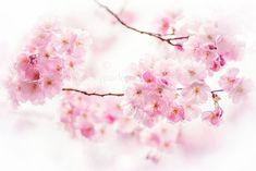 Cherry Blossom Spring by Jacky Parker