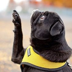 hamiltonpug:   This is my presidential pug pose. (Photo by realhappydogs.com)