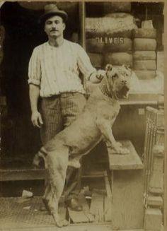 Old type Neopolitan Mastiff