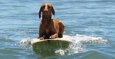 Used to have a Vizsla .The Vizsla is a dog breed originating in Hungary California Beach, Vizsla, Hungary, Dog Breeds, Surfing, Puppies, Lifestyle, Santa Cruz, Cubs