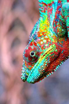 Magnificent reptiles - Again, nature is amazing. God creates such amazing thins - hope we humans don't mess too much of it up! Les Reptiles, Reptiles And Amphibians, Mammals, Beautiful Creatures, Animals Beautiful, Cute Animals, Chameleon Lizard, Karma Chameleon, Tier Fotos