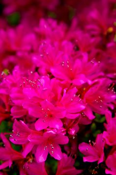 "Azaleas are so lovely for the 3 weeks they bloom in the spring. I'd like to try some of the :Encore"" reblooming ones."